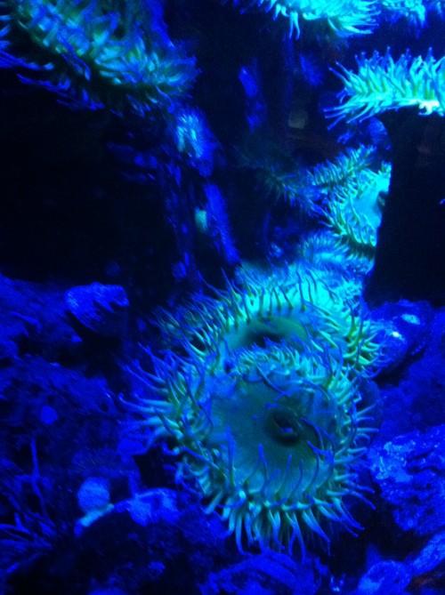 Blue Anemone: Closer